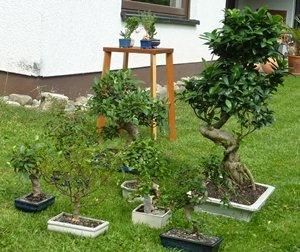meine bonsai s verlieren bl tter. Black Bedroom Furniture Sets. Home Design Ideas